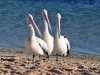 Monkey Mia pelicans