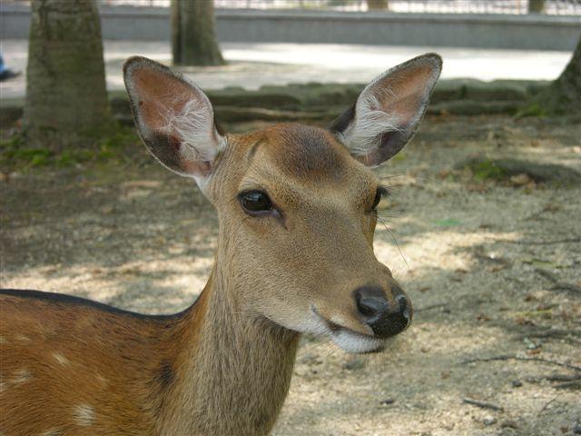 Deer at Miyajima island