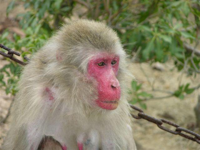 Monkey at Miyajima Island