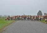 20161027_Roadblock_cows