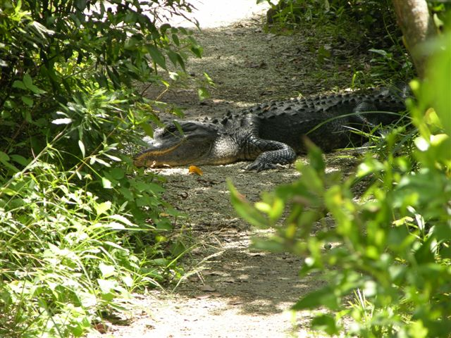 Alligator blocking the path